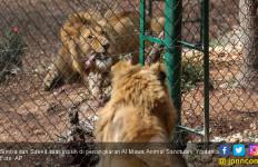 Singa Korban ISIS Mendapat Rumah Baru - JPNN.com