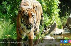 Ada Jejak Harimau Sumatera, Warga Diimbau Mawas Diri - JPNN.com