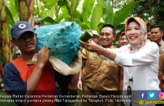 Menyusul Cavendis, Pisang Mas Tanggamus Masuki Pasar Ekspor - JPNN.com