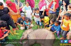 Terluka di Kaki, Anak Gajah Diselamatkan - JPNN.com