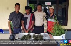 Polisi Ciduk Pemilik Ladang Ganja Dua Hektare di Meurah Dua - JPNN.com