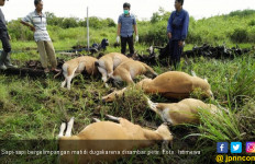 Lihat, Sapi – sapi Bergelimpangan Disambar Petir - JPNN.com