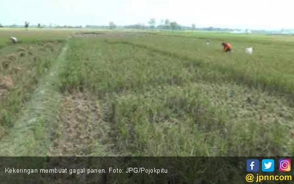 Strategi Kementan Agar Tidak Terjadi Gagal Panen Selama Musim Kemarau - JPNN.com