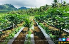 Pengembangan Pepaya Merah Delima Investasi yang Menarik - JPNN.com