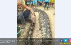 Ular Piton Sepanjang 7 Meter Ditangkap Warga Pulau Tengah - JPNN.com