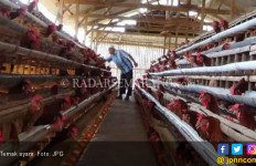 Peternak Ayam Kosongkan Kandang - JPNN.com