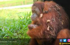 Bayi Orangutan Jantan Lahir di Bintan, Namanya.. - JPNN.com