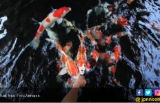 Jumlah Ekspor Ikan Hias Indonesia Masih yang Tertinggi - JPNN.com