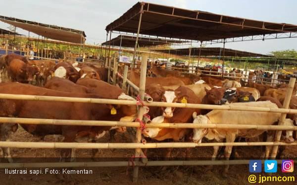 Lampung Utara Target Asuransikan 750 Sapi Betina - JPNN.com