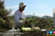 Harga Kacang Tanah Turun Drastis, Petani Menjerit - JPNN.com