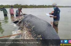 Paus Terdampar di Perairan Pulau Kapota TN Wakatobi - JPNN.com