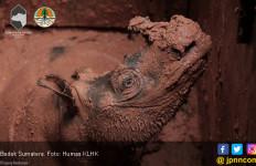 Satu Ekor Badak Sumatera Berhasil Diselamatkan di Kalimantan - JPNN.com