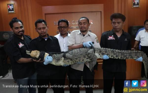 Jaga Kesejahteraan Satwa, KLHK Translokasikan 11 Buaya Muara - JPNN.com