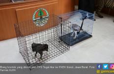 Kementerian LHK Translokasi Tujuh Elang Brontok ke Kamojang - JPNN.com