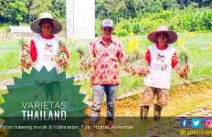 Barito Timur Siap Jadi Sentra Baru Bawang Merah Kalimantan - JPNN.com