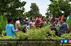 Upaya Kementan Antisipasi Penyakit Musim Hujan pada Cabai - JPNN.com