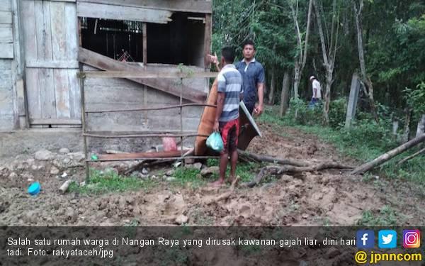Kawanan Gajah Liar Obrak-abrik Tiga Rumah Warga Nagan Raya - JPNN.com