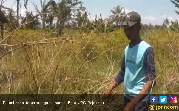 Petani Cabai Terancam Gagal Panen - JPNN.com
