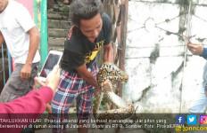 Sempat Dibelit, Pria Misterius Tangkap Ular Piton Tanpa Alat - JPNN.com