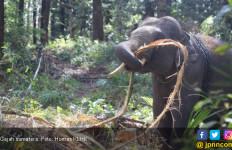 Kebakaran Hutan di Taman Nasional Tesso Nilo, 8 Ekor Gajah Sumatera Terpaksa Dipindahkan - JPNN.com