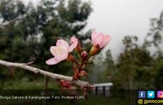 Inilah Manfaat Bunga Sakura untuk Rawat Kulit Cantikmu - JPNN.com
