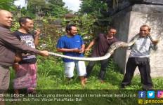Ular Besar Kuning Keemasan Muncul di Dekat Pura, Warga Ketakutan - JPNN.com