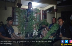 Polisi Temukan Ladang Ganja Seluas Dua Hektare di Kerinci - JPNN.com