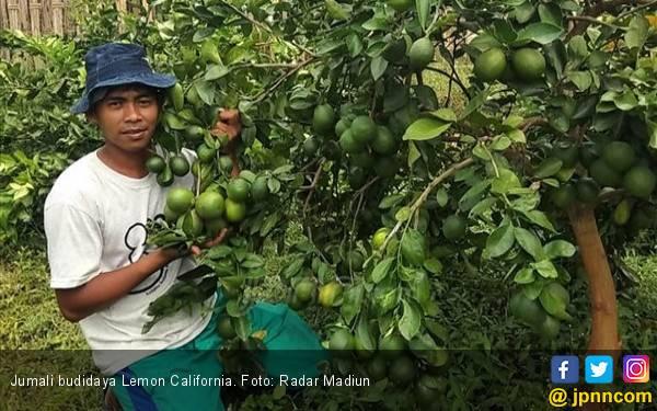 Jumali jadi Petani Lemon California, Omzet Rp 120 Juta sejak Panen Pertama - JPNN.com