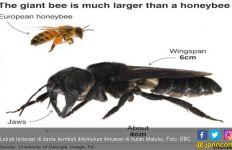 38 Tahun Hilang, Lebah Raksasa Ditemukan di Hutan Maluku - JPNN.com