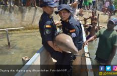 KKP Lepasliarkan Spesies Dilindungi Dugong - JPNN.com