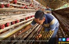 Harga Ayam Anjlok, Ini Langkah Pemerintah - JPNN.com