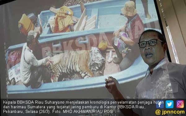 Terjerat Jaring Pemburu, Penjaga Hutan Nyaris Jadi Santapan Harimau Sumatera - JPNN.com