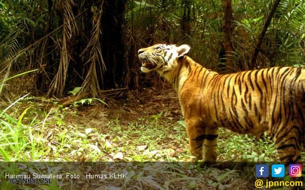 Pekerja PT Riau Indo Agropalma Tewas Diterkam Harimau Sumatera - JPNN.com