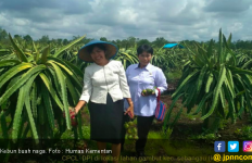 Buah Naga Merekah Manis di Lahan Gambut Kalimantan Tengah - JPNN.com