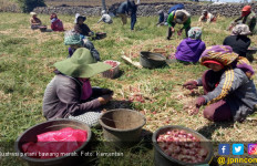 Produksi Bawang Merah Berlebih, Emak-Emak tak Perlu Risau Ya.. - JPNN.com
