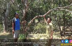 Puluhan Hektar Kebun Jeruk Pamelo Mati Kekeringan - JPNN.com
