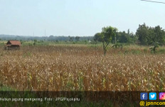 Waduk Sumber Air Mengering, Puluhan Kebun Jagung - JPNN.com