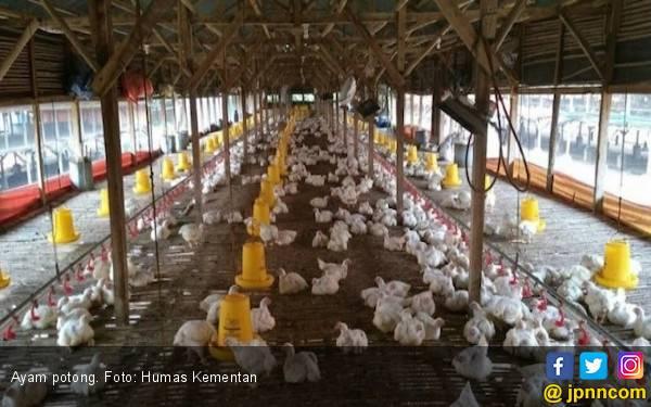 Lewat Cara ini, Kementan Terus Tingkatkan Produksi Ayam Potong - JPNN.com