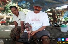 Anak Babi Berkepala Gajah Bikin Heboh Warga Buleleng - JPNN.com