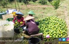 Manis dan Segarnya Budidaya Jeruk Lemon - JPNN.com