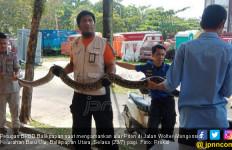 Ular Piton Panjang 3,5 Meter Kerasan di Kolong Rumah Warga, Ngeri Banget - JPNN.com