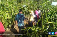 Hasil Verifikasi Memuaskan, Buah Naga Siap Melenggang Ke Negeri Tirai Bambu - JPNN.com