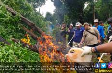 40 Ribu Batang Pohon Ganja Tak Bertuan itu Dibakar di Gunung Seulawah - JPNN.com