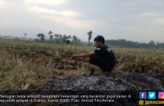 Gagal Panen, Kerugian Pertanian di Cianjur Mencapai Rp 69,87 Miliar - JPNN.com