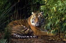 Harimau Diduga Masuk Kampus Unsri Palembang - JPNN.com