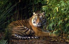 Pemburu Harimau Sumatera Terancam 5 Tahun Penjara - JPNN.com