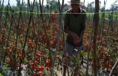 Pandemi Covid-19, Petani Mengeluhkan Tomat Membusuk, Terong Hanya jadi Makanan Sapi - JPNN.com