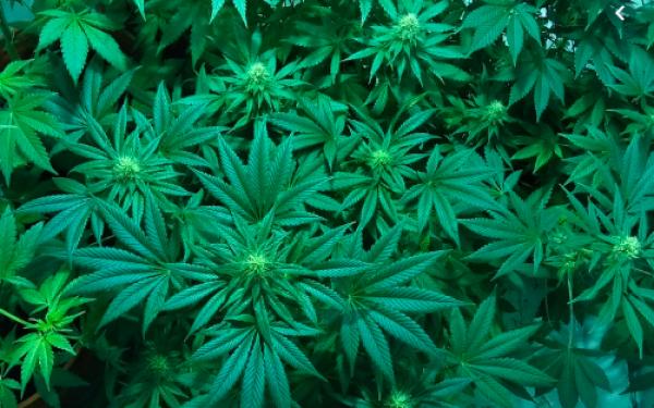 Partai Berkuasa Berencana Izinkan Warga Tanam Mariyuana di Rumah - JPNN.com