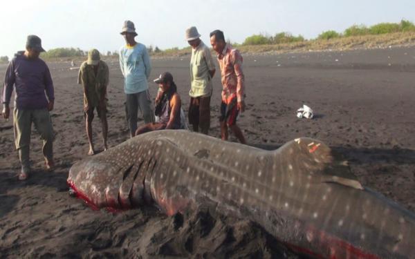 Hiu Tutul Berdarah Ditemukan Tewas di Tepi Pantai - JPNN.com