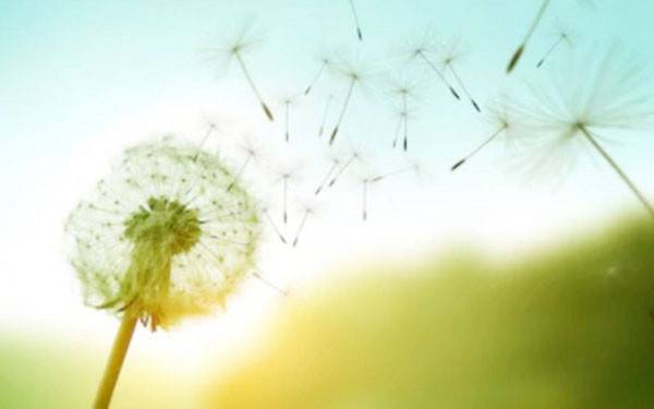 Manfaat Teh Dandelion untuk Kesehatan Kulit Hingga Liver - JPNN.com